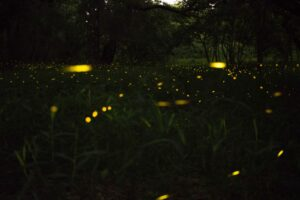 Learn how to attract fireflies to your yard this summer!