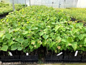 Young Redbuds in the Nursery